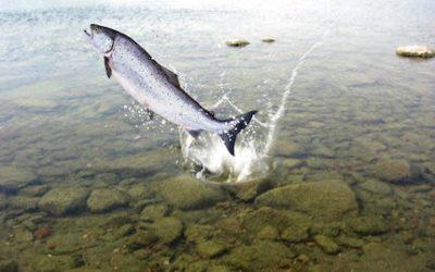 Le saumon, sauvage ou d'élevage, doit on s'en passer pour les fêtes ?